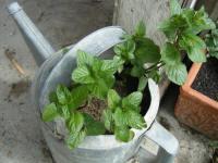 Surreal Gardenings Spearmints